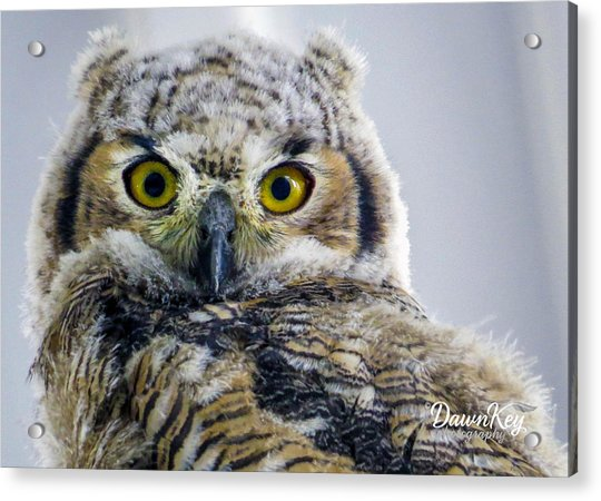 Owlet Close-up Acrylic Print