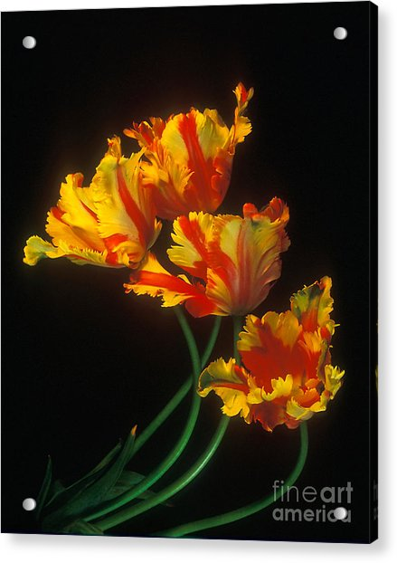 Parrot Tulips On Easter Morning Vertical Acrylic Print