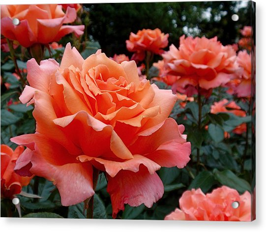 Acrylic Print featuring the photograph Peach Roses by Rona Black