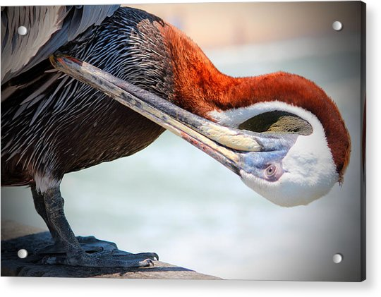 Acrylic Print featuring the photograph Pelican Itch by Cynthia Guinn