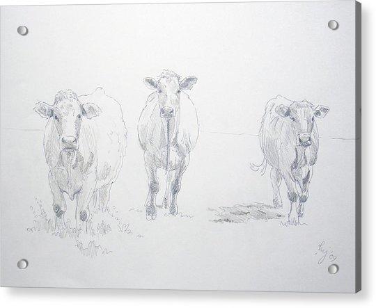 Pencil Drawing Of Three Cows Acrylic Print