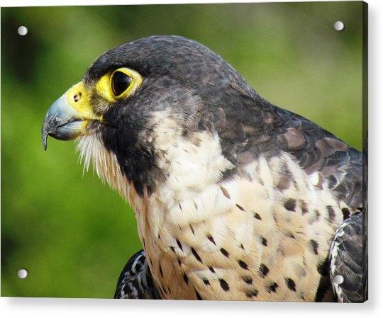 Acrylic Print featuring the photograph Peregrine Falcon by Cynthia Guinn