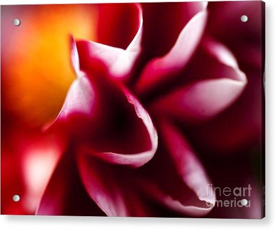 Petals Of An Aster Acrylic Print
