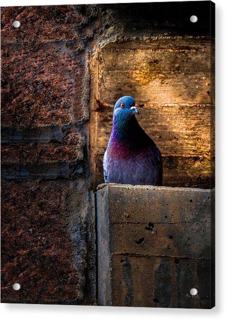 Pigeon Of The City Acrylic Print