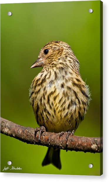 Pine Siskin With Yellow Coloration Acrylic Print