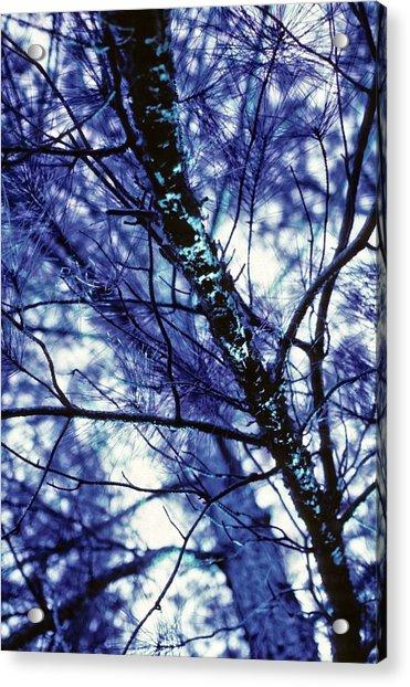 Pine Trees Redux In Blue Acrylic Print