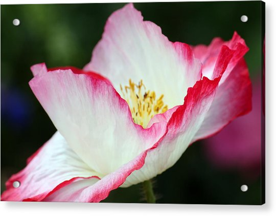 Pink-fringed Poppy Acrylic Print