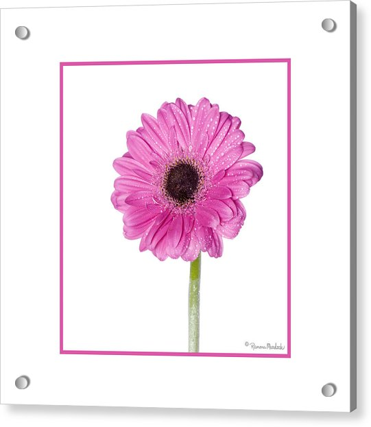 Pink Gerbera Daisy Acrylic Print