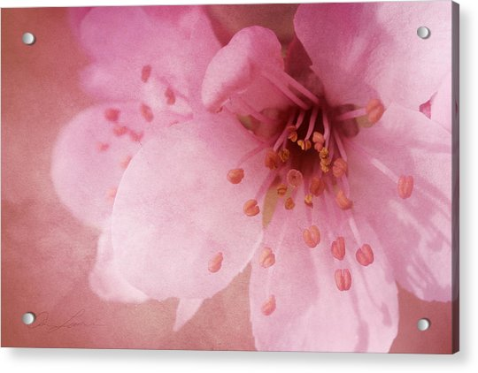 Pink Spring Blossom Acrylic Print