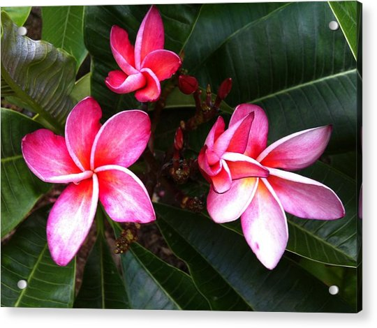 Plumeria Blooms Acrylic Print