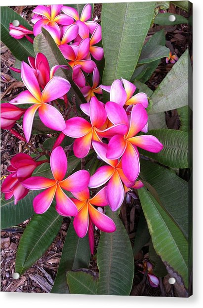 Plumeria Bouquet  Acrylic Print