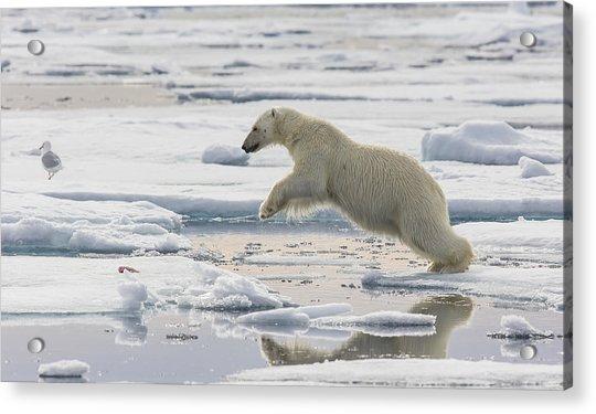 Polar Bear Jumping  Acrylic Print