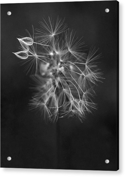 Acrylic Print featuring the photograph Portrait Of A Dandelion by Rona Black