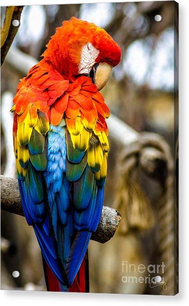 Preening Scarlet Macaw Acrylic Print