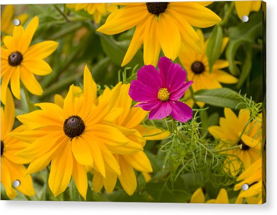 Purple And Yellow Flowers Acrylic Print