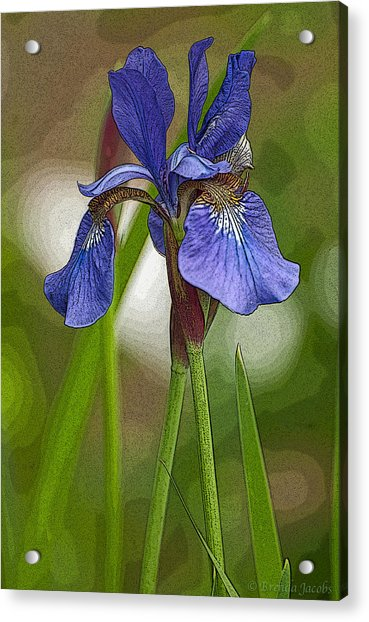 Purple Bearded Iris Watercolor With Pen Acrylic Print