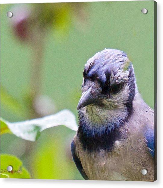 Quizzicle Blue Jay Acrylic Print