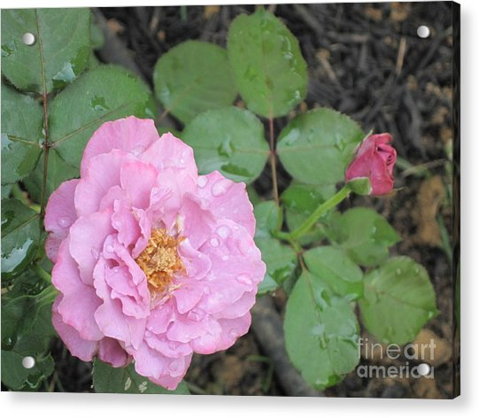 Rain Kissed Rose Acrylic Print