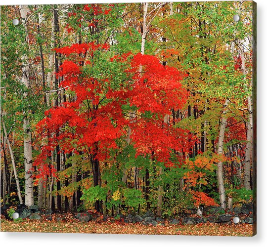 Red Maple Tree And White Birch Trees In Acrylic Print