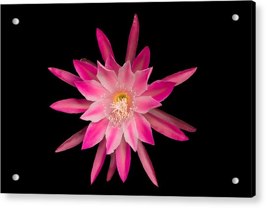 Red Petals In The Morning Acrylic Print