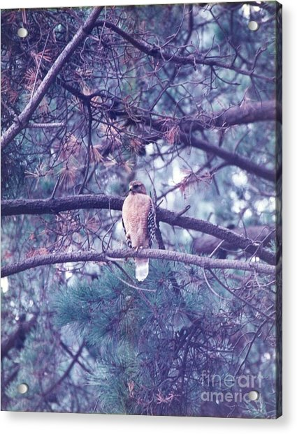 Acrylic Print featuring the photograph Red Tail Hawk by Cynthia Marcopulos