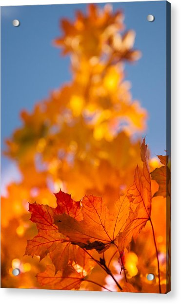 Red Tipped Gold Acrylic Print