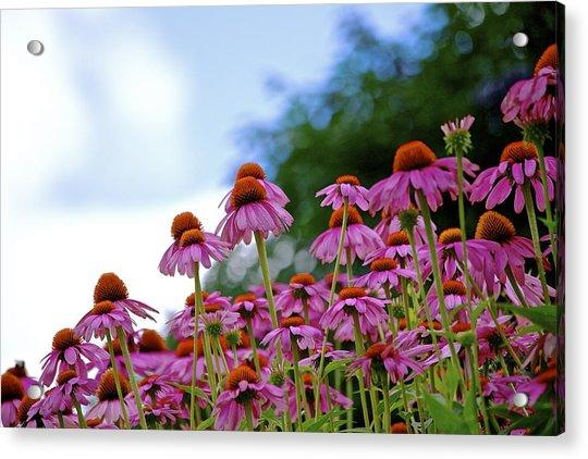 Rising Echinacea Acrylic Print