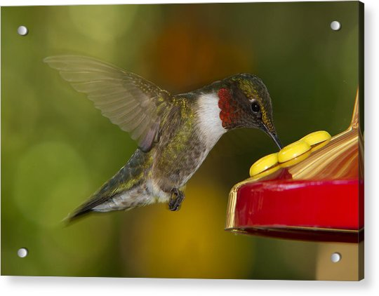 Ruby-throat Hummer Sipping Acrylic Print