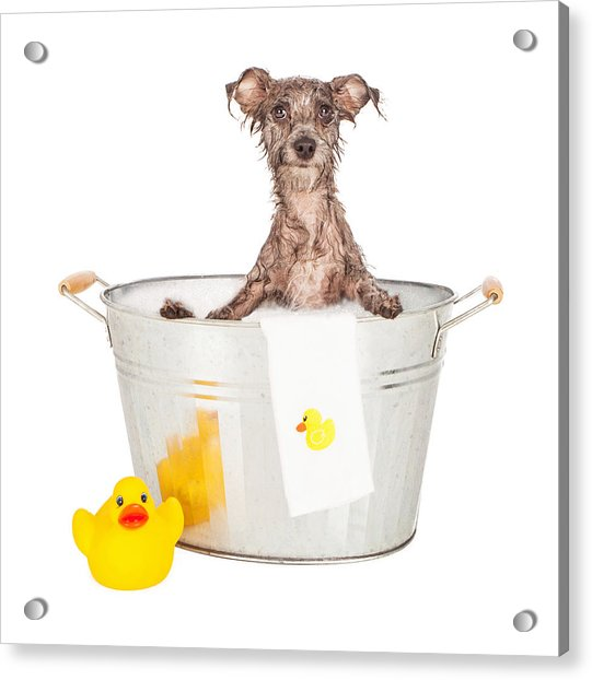 Scruffy Terrier In A Bath Tub Acrylic Print