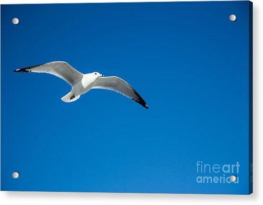 Seagull In Blue Skies Acrylic Print by Mina Isaac