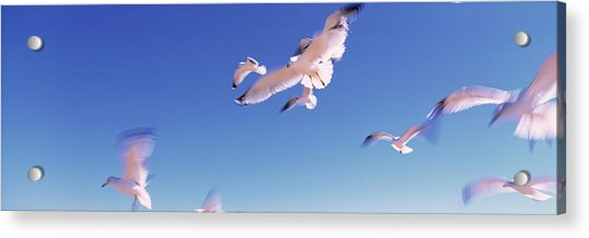 Seagulls Flying Along Route A1a Acrylic Print