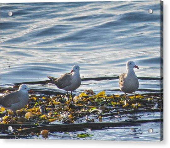 Seagulls In Victoria Bc Acrylic Print