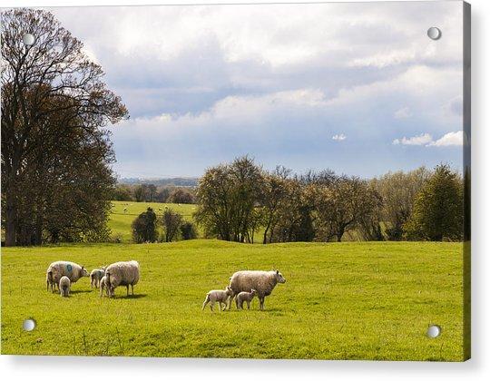 Sheep With Lambs Acrylic Print