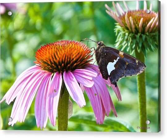 Silver-spotted Skipper And Echinachea Acrylic Print