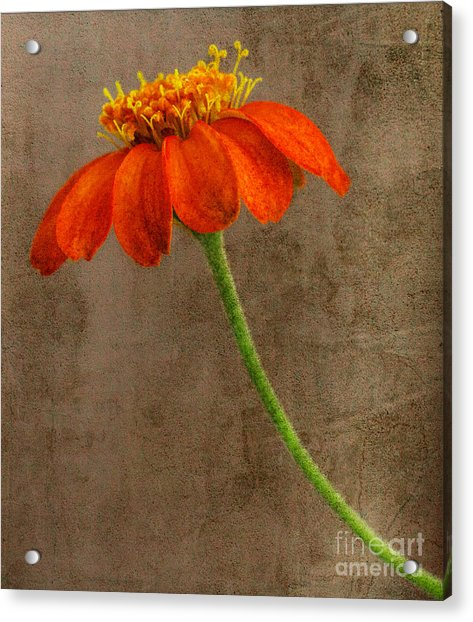 Simply Orange Acrylic Print
