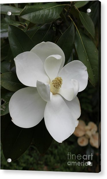 Single Magnolia Acrylic Print