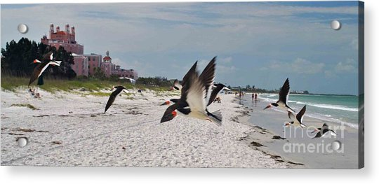 Black Skimmers At Don Cesar Acrylic Print