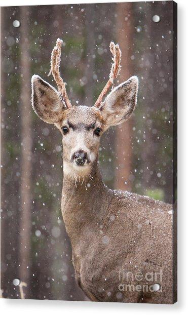 Snow Deer 1 Acrylic Print
