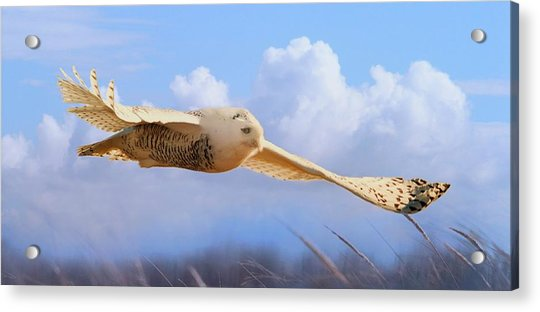 Snow Owl In Flight Acrylic Print