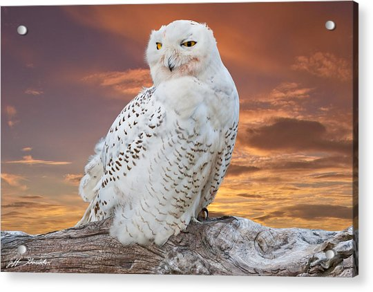 Snowy Owl Perched At Sunset Acrylic Print