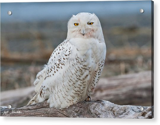 Snowy Owl Watching From A Driftwood Perch Acrylic Print