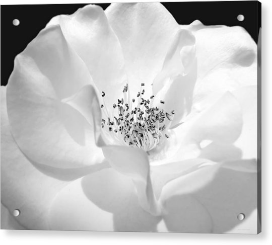 Soft Petal Rose In Black And White Acrylic Print