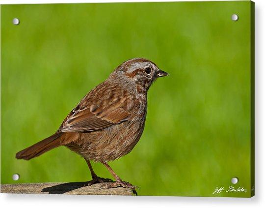 Song Sparrow On A Log Acrylic Print