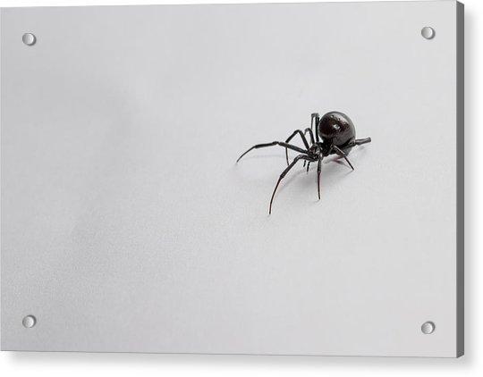 Southern Black Widow Spider Acrylic Print