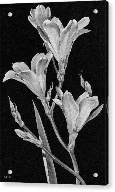 Sparaxis Flowers Acrylic Print