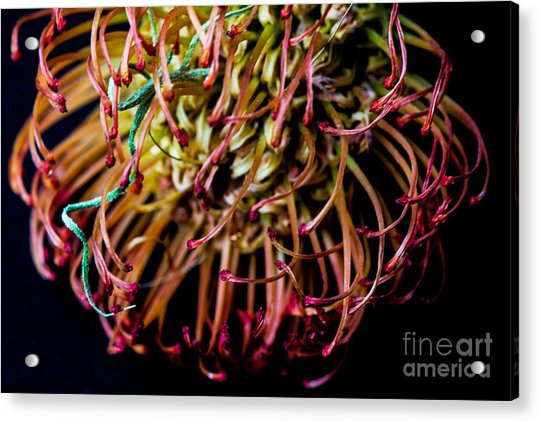 Spiky Flower Acrylic Print by Mina Isaac