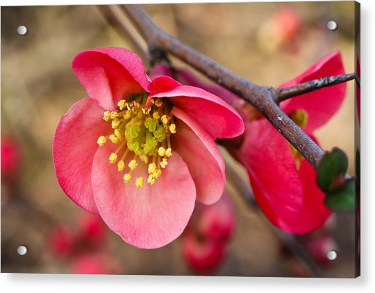 Springtime Quince Acrylic Print
