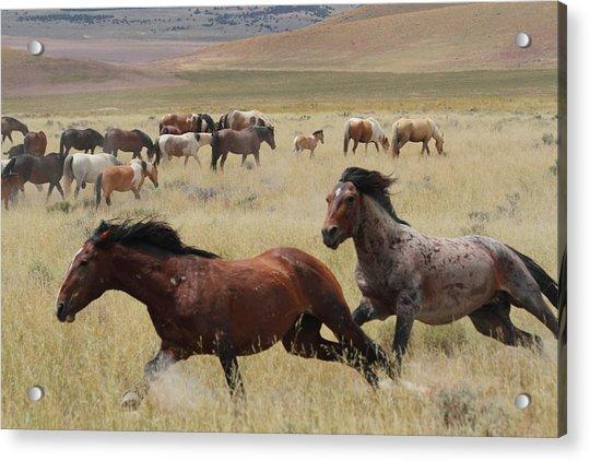 Stallion Chase Acrylic Print by Gene Praag
