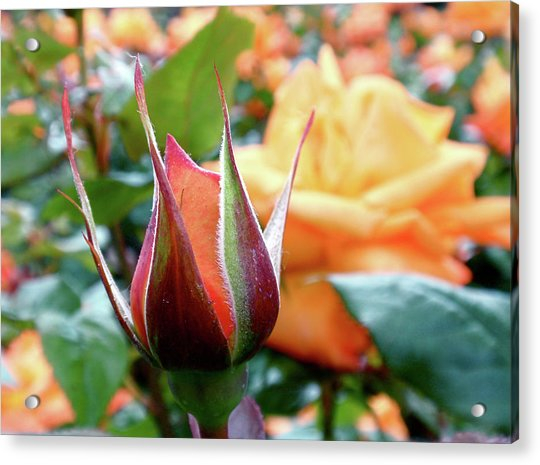 Acrylic Print featuring the photograph Starting Out by Rona Black