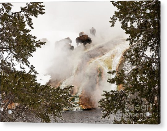 Steamy Bison Acrylic Print